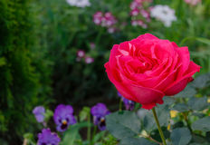 красный цвет сада поднял Стоковые Фотографии RF