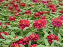 красный цвет сада цветка Стоковое фото RF