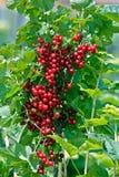 красный цвет смородины ветви сочный Стоковое Изображение RF