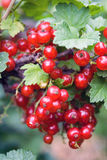 красный цвет смородины ветви Стоковые Фотографии RF