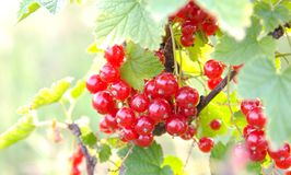 красный цвет смородины пука Стоковое фото RF