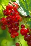 красный цвет смородины ягод стоковое изображение