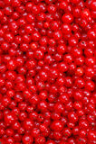 красный цвет смородины стоковое фото