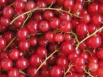 красный цвет смородины стоковое изображение rf