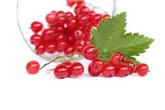 красный цвет смородины Стоковое Изображение