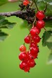 красный цвет смородины Стоковые Изображения RF