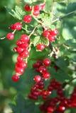 красный цвет смородины banch Стоковая Фотография