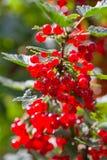 красный цвет смородины bush ягод стоковые изображения rf