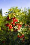 красный цвет смородины bush Стоковое Изображение