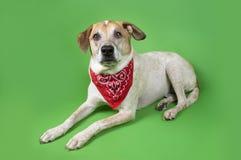 красный цвет собаки пестрого платка Стоковая Фотография