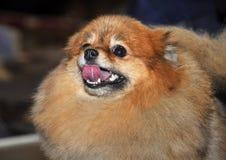 Красный цвет собаки шпица Стоковое Изображение