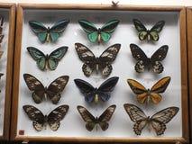 красный цвет собрания бабочки бабочек голубой коробки Стоковые Изображения