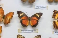 красный цвет собрания бабочки бабочек голубой коробки Стоковая Фотография RF