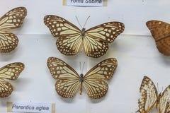 красный цвет собрания бабочки бабочек голубой коробки Стоковые Фото