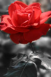 красный цвет страсти Стоковое фото RF