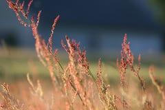 красный цвет травы Стоковая Фотография