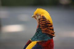 красный цвет фазана азиата задний цветастый смотря Стоковое Фото