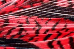 красный цвет фазана макроса пера Стоковая Фотография