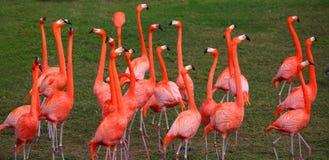 красный цвет фламингоа танцы Стоковое Изображение RF