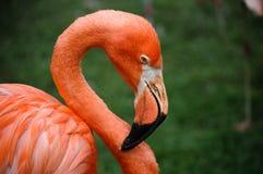 красный цвет фламингоа Стоковые Изображения RF