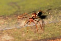 красный цвет фото муравея Стоковая Фотография RF