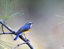 красный цвет фланкированный bluetail Стоковые Фотографии RF