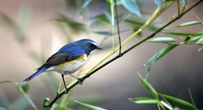 красный цвет фланкированный bluetail Стоковая Фотография