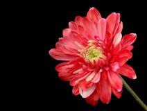 красный цвет хризантемы Стоковые Фото