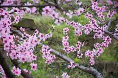 Красный цвет цветения персика гениальный Стоковые Фотографии RF