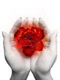 красный цвет цветения поднял стоковые фото