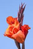красный цвет цветеня Стоковые Фотографии RF