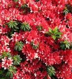 Красный цвет цветет азалия в японском саде. Стоковое Изображение RF