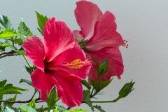 Красный цвет цветет гибискус Стоковая Фотография