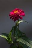 Красный цвет цветет предпосылка в Surat Thani Таиланде Стоковое Изображение