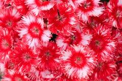 Красный цвет цветет предпосылка, флористическая предпосылка Стоковое фото RF
