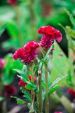 Красный цвет цветет 2 цветка Стоковые Изображения
