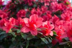 Красный цвет цветка азалии Стоковая Фотография RF