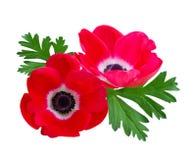 красный цвет цветка ветреницы Стоковое фото RF