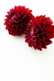 красный цвет цветка георгина Стоковые Изображения RF
