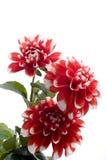 красный цвет цветка георгина Стоковые Изображения
