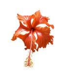 красный цвет цветка изолированный hibiscus Стоковое фото RF