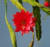 красный цвет цветка кактуса Стоковые Изображения