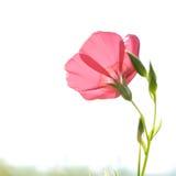 красный цвет цветка крупного плана Стоковые Изображения