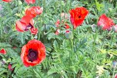 красный цвет цветка мака Стоковые Изображения RF