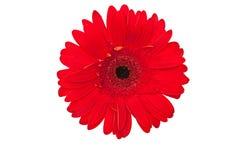 красный цвет цветка маргаритки Стоковые Изображения RF