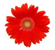красный цвет цветка маргаритки Стоковое Изображение