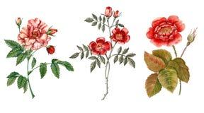 красный цвет цветка поднял Ботаническая иллюстрация акварель Стоковые Изображения RF