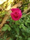 красный цвет цветка поднял стоковое фото rf