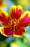 красный цвет цветка пожара стоковое изображение