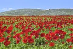 красный цвет цветка поля стоковое изображение rf